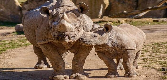 Afrique du Sud: un chasseur condamné à une lourde peine de prison pour avoir tué un bébé rhinocéros