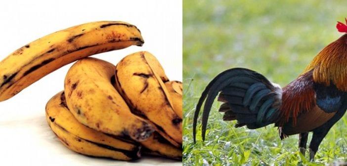 Ghana,il écope , Lourde Peine ,banane Plantain , Coq