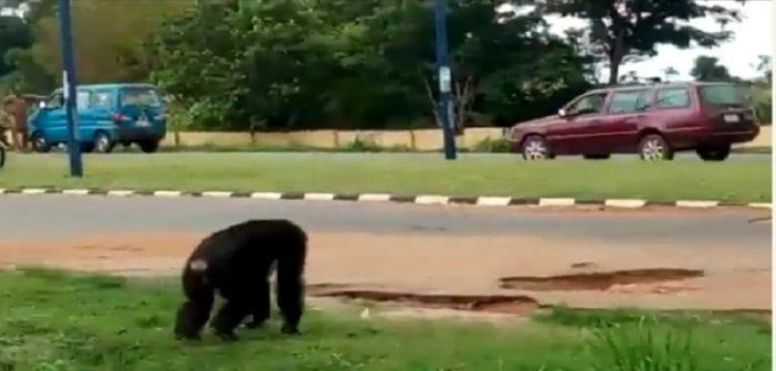 Nigeria: un gorille qui s'est échappé d'un zoo sème la panique (Vidéo)