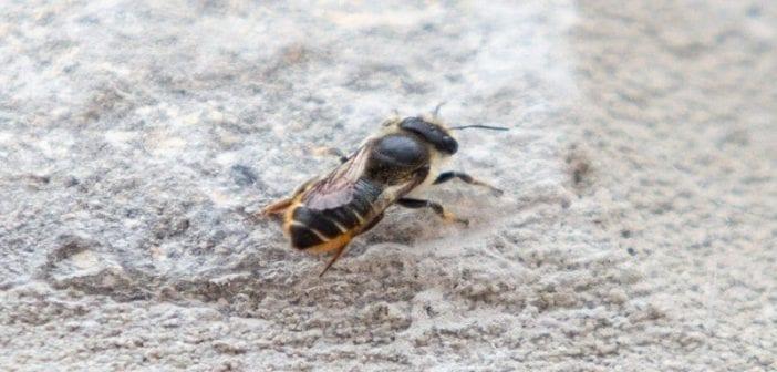 Une abeille turque recherchée par le gouvernement britannique