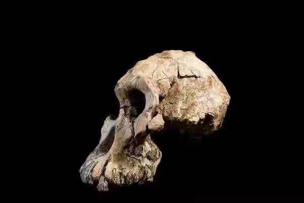 Éthiopie: découverte du plus vieux crâne fossile d'australopithèque