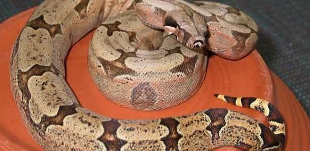 Ouganda : Un voleur arrêté par un serpent