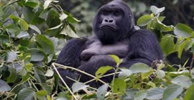 Santé : un parasite mortel a «sauté» du gorille à l'homme
