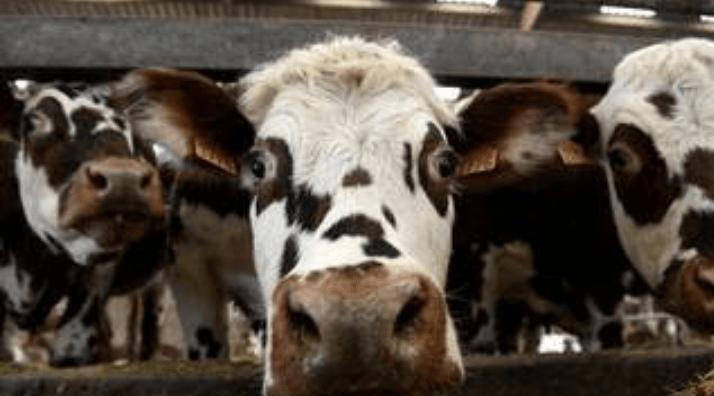 Un agriculteur lourdement condamné à cause de l'odeur de ses vaches