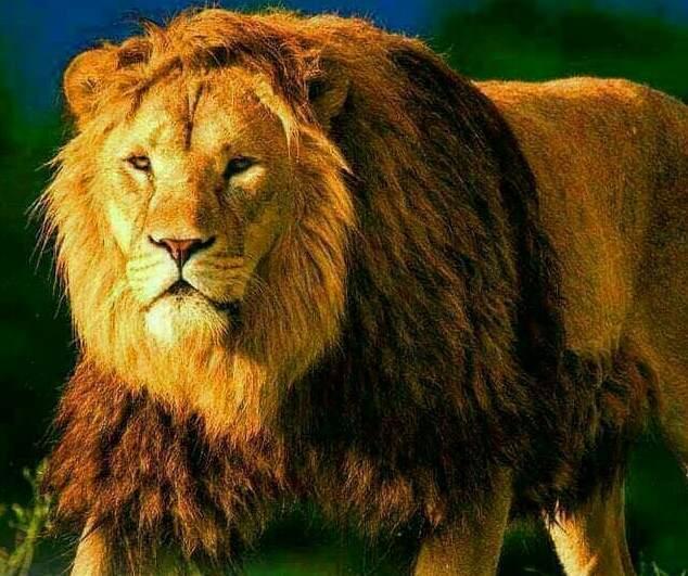 Nigéria : pour sa sécurité il fait garder sa maison par un lion