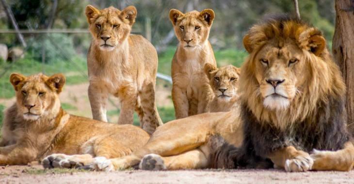 Le continent africain a perdu la moitié de ses lions en seulement 25 ans