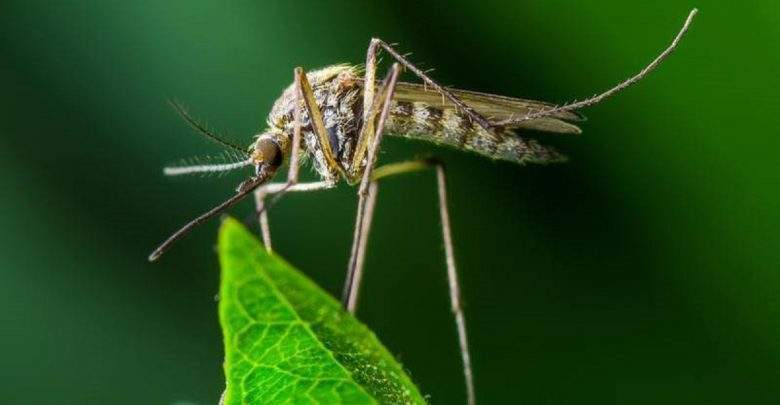 Santé: L'OMS annonce un plan de stérilisation des moustiques mâles