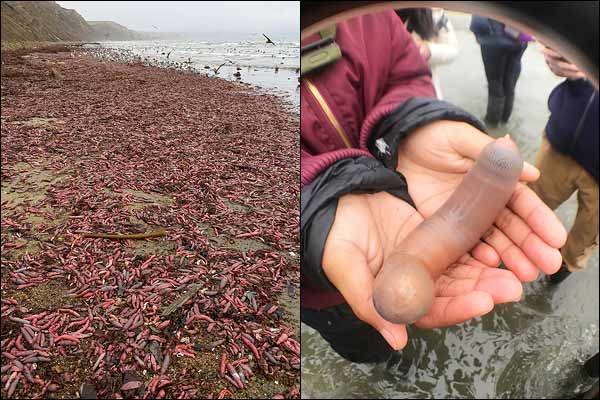 Des milliers de « poissons pénis » s'échouent sur une plage en Californie (photos)