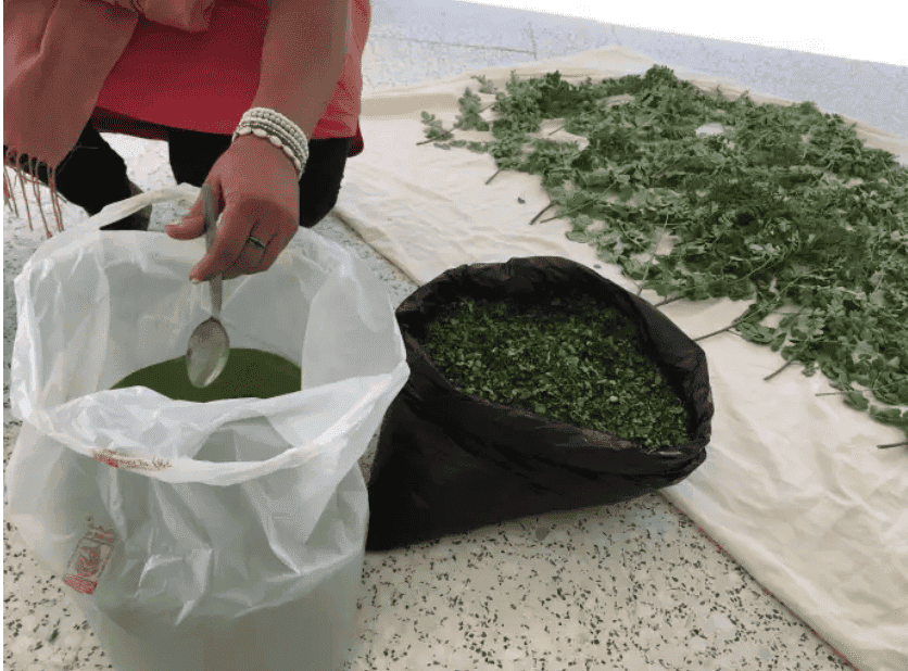 Agriculture en Afrique : qui veut gagner des millions avec le moringa ?