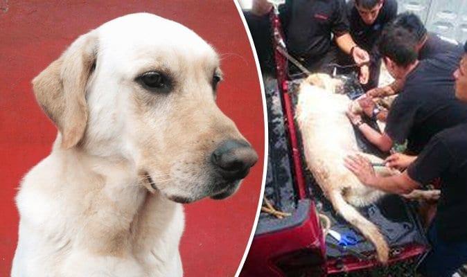 Ce chien décédé est honoré héros après avoir sauvé 7 personnes des décombres d'un tremblement de terre.