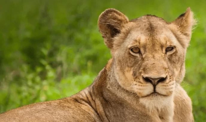 Cameroun : La lionne du président Paul Biya est morte