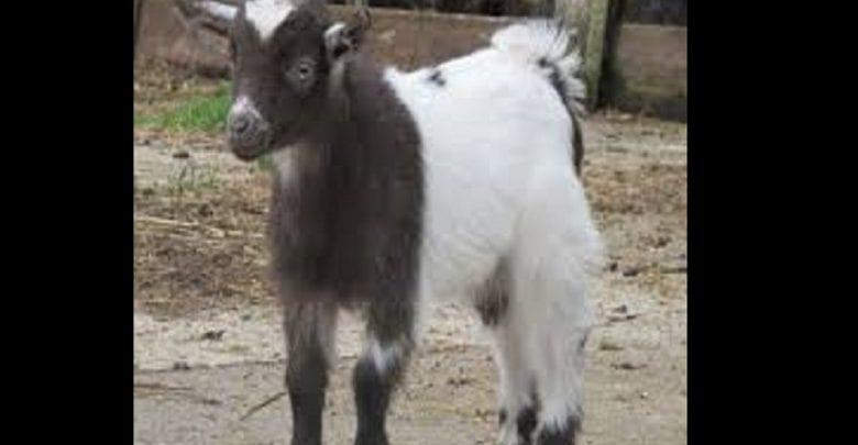 Une femme vole une chèvre pour régler la facture médicale de son fils