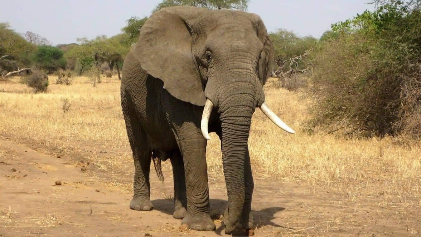 Sénégal : Un éléphant en liberté après plusieurs années, une première