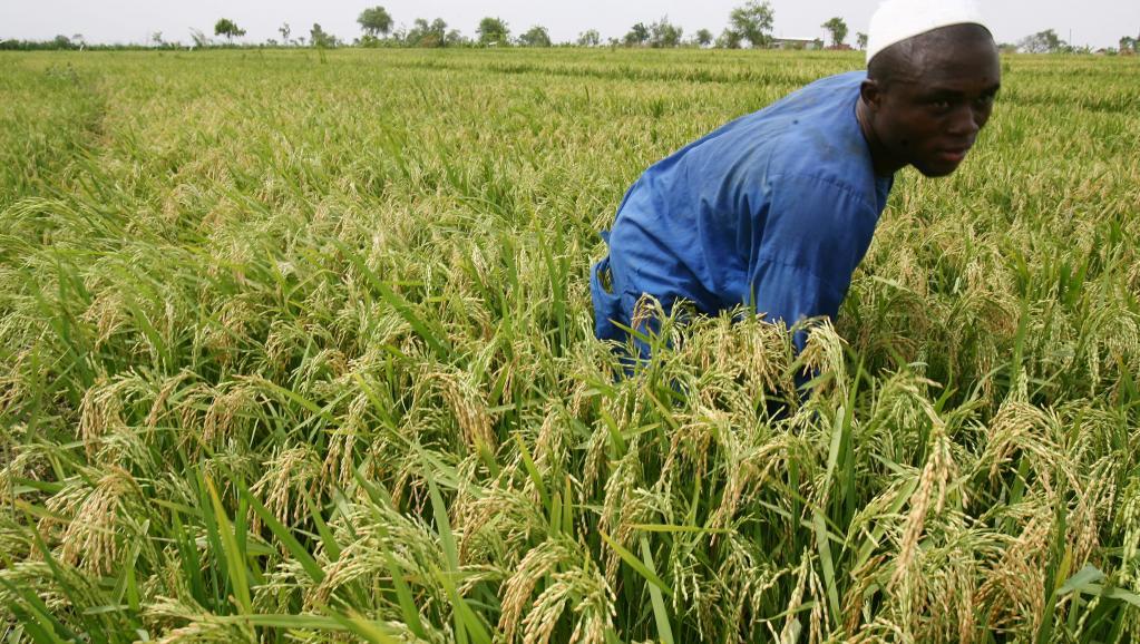 Le Nigeria devient le 1er producteur de riz en Afrique