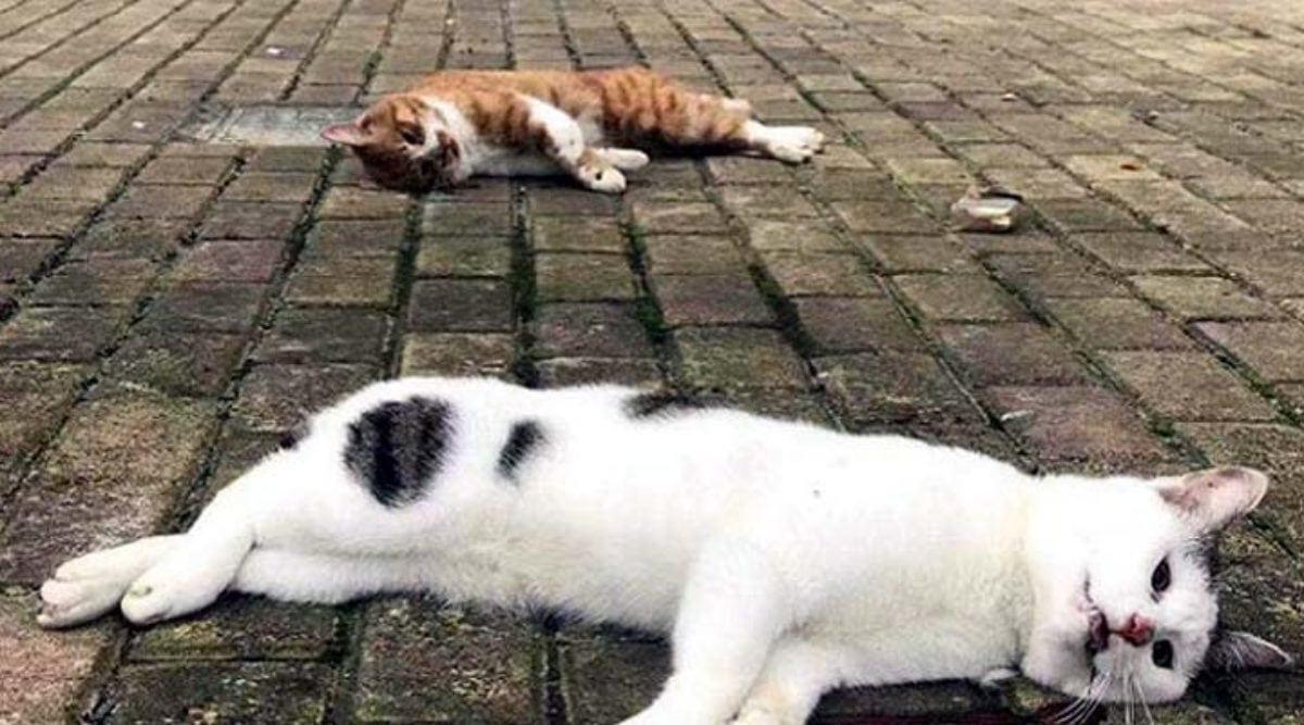 Des chats et des chiens « jetés des fenêtres » après la diffusion de rumeurs selon lesquelles les animaux seraient responsables de la propagation de l'épidémie au coronavirus