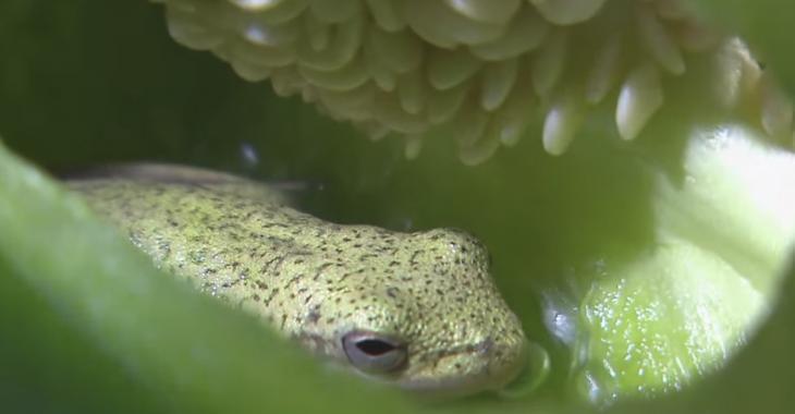 La grenouille qui a été retrouvée dans un poivron est morte.