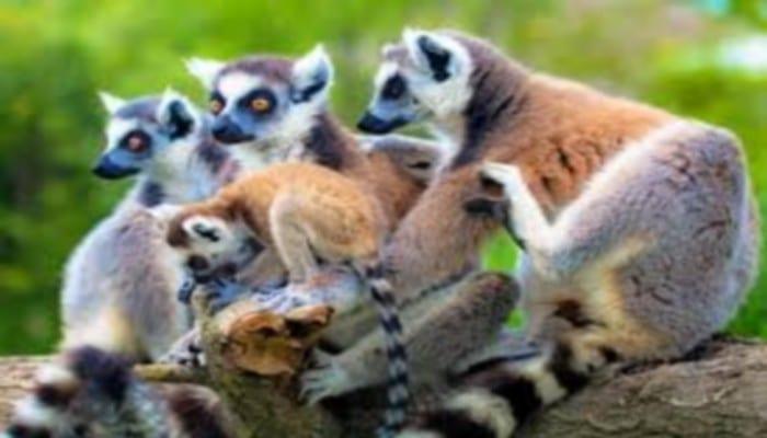 Madagascar : Les lémuriens en danger selon les défenseurs de l'environnement