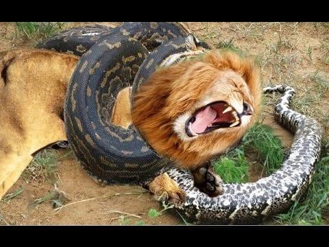 Mortal Kombat inédit entre un Lion et un Anaconda (Vidéo)