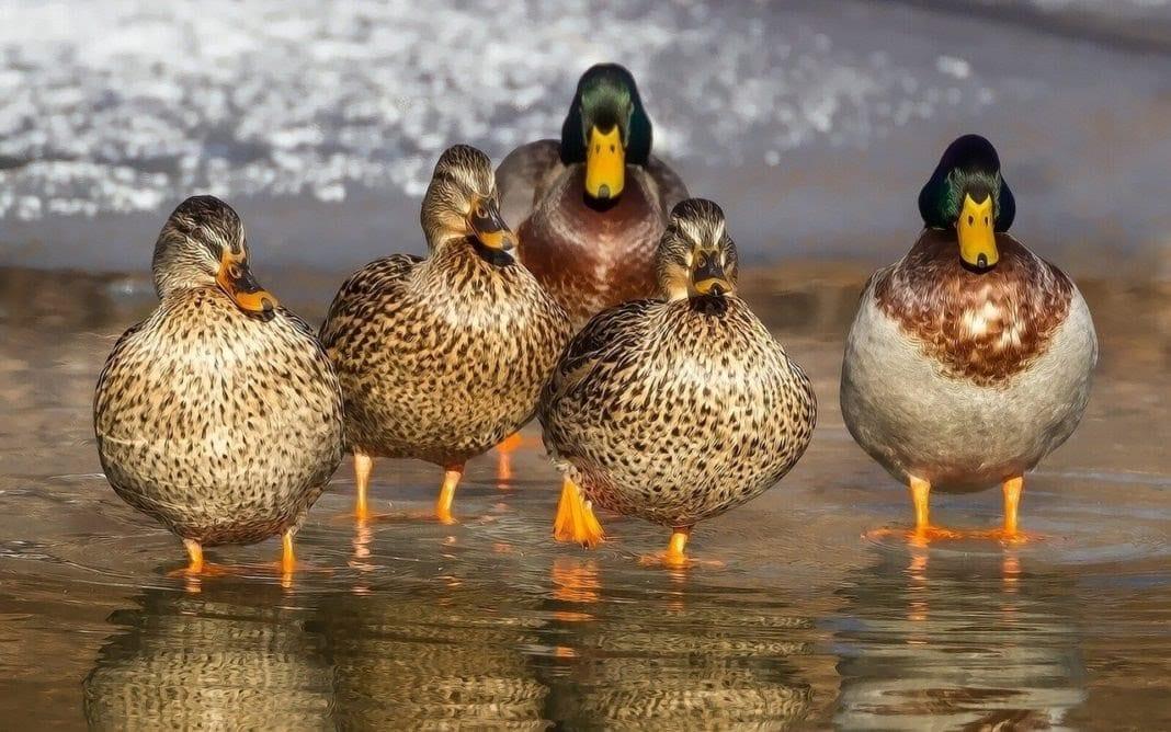 La Chine envoie 100 000 canards pour combattre des criquets au Pakistan