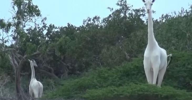 Extinction : Des braconniers tuent la seule girafe blanche du Kenya et son petit.
