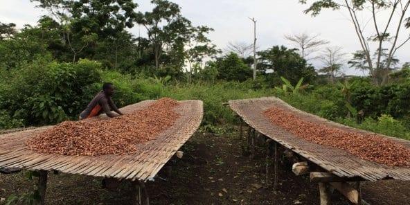 Malgré la chute des cours mondiaux, la Côte d'Ivoire reconduit le prix bord champ du cacao