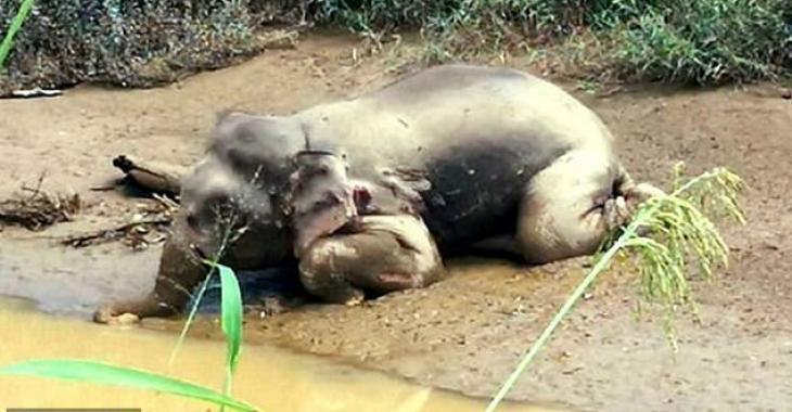 Un éléphant retrouvé criblé d'au moins 70 balles par des braconniers qui lui ont volé ses défenses.