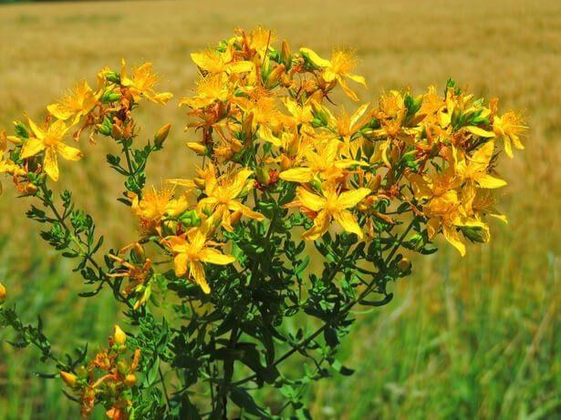 12 herbes médicinales à connaître absolument en 2020