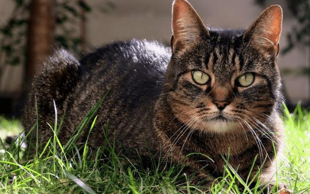 Coronavirus : un chat contaminé par son maître