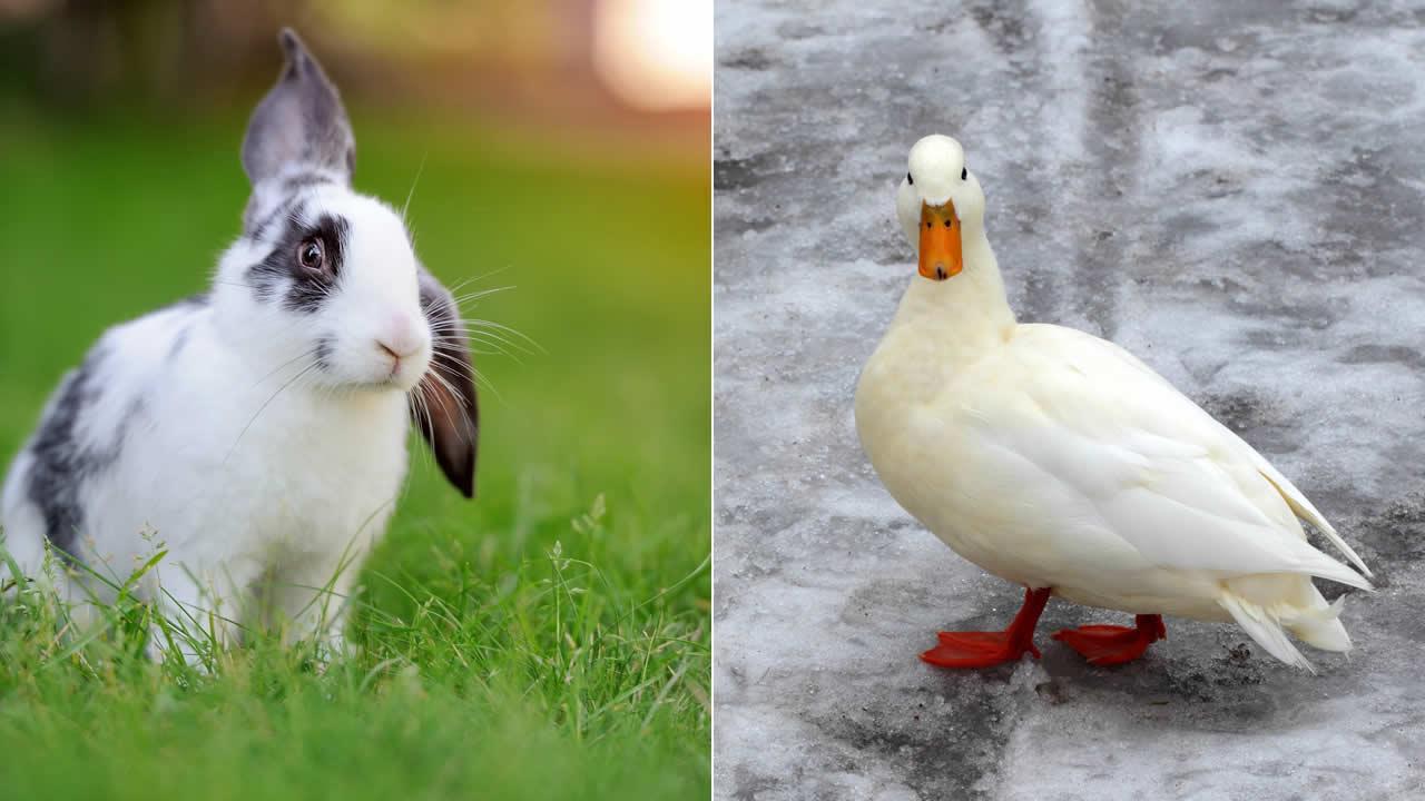 Couvre-feu sanitaire : vol de 35 lapins et 12 canards dans un domaine