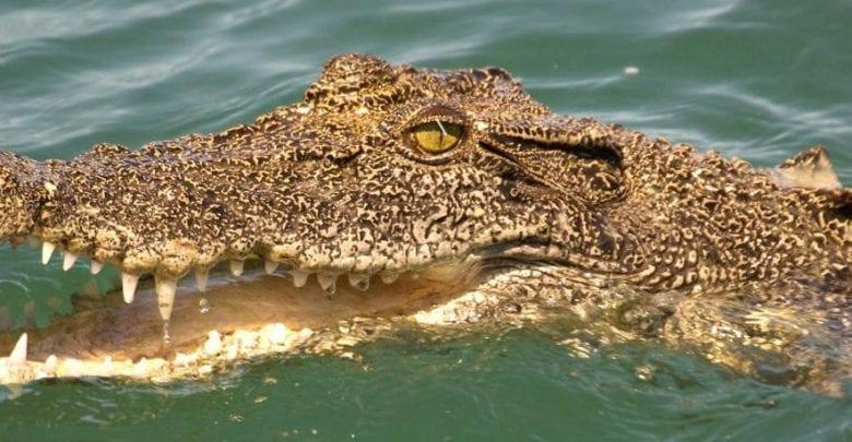 Afrique du Sud: Il perd son travail à cause du Covid-19 et finit ses jours entre les crocs d'un crocodile