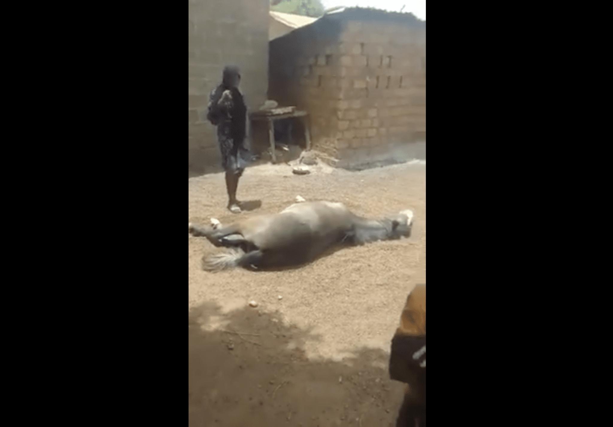 Incroyable ; une jeune fille vierge enjambe un cheval agonisant pour le soulager(vidéo)