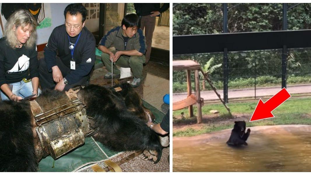 La Chine approuve le traitement du Covid-19 par des injections à base de bile d'ours et corne de chèvre