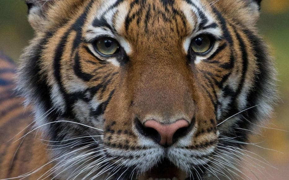 title Covid-19 : un tigre du Zoo de New York testé positif