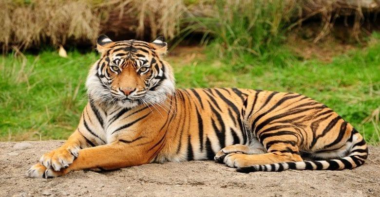 USA: Un tigre dans un zoo testé positif au coronavirus