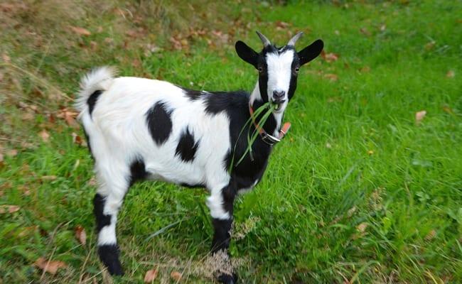 Togo : La mairie de Kloto vend aux enchères une chèvre capturée dans la rue