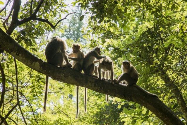Inde : Des singes s'enfuient avec des échantillons de test de coronavirus