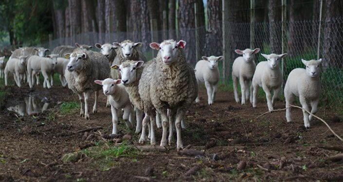 Maroc : un français condamné à de la prison ferme pour avoir violenté des moutons