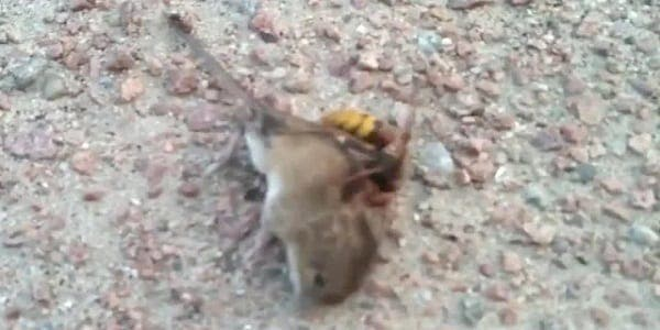 Quand une souris se fait tuer par un frelon asiatique géant en quelques secondes-Vidéo