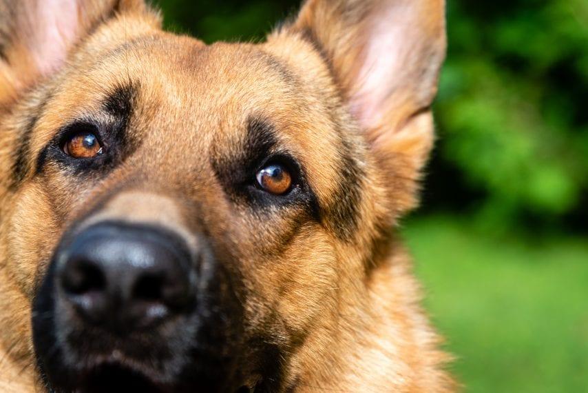 Nouvelle-Zélande : Un nourrisson d'un jour attaqué à mort par le chien de la famille