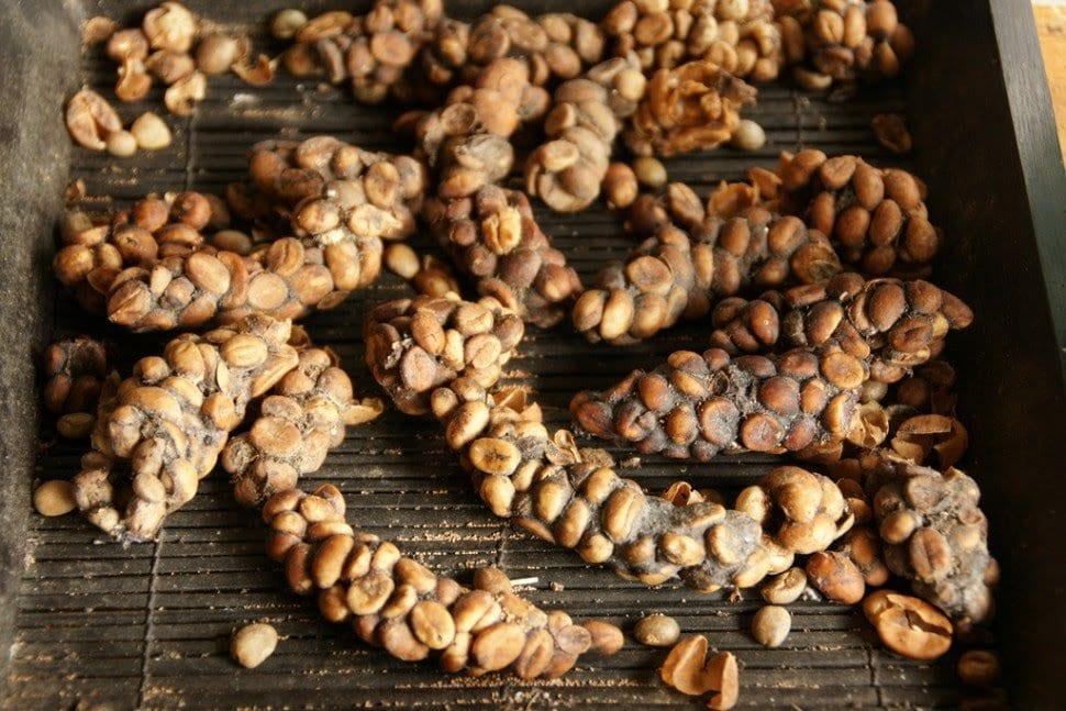 Le café le plus cher au monde est extrait des excréments de la civette