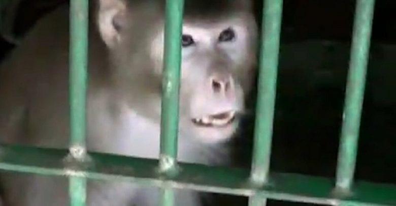 Côte d'Ivoire : Une femme se fait tuer par un chimpanzé