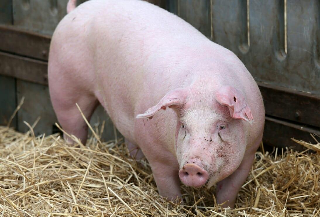 Chine : découverte d'un virus de grippe porcine; menace d'une nouvelle pandémie