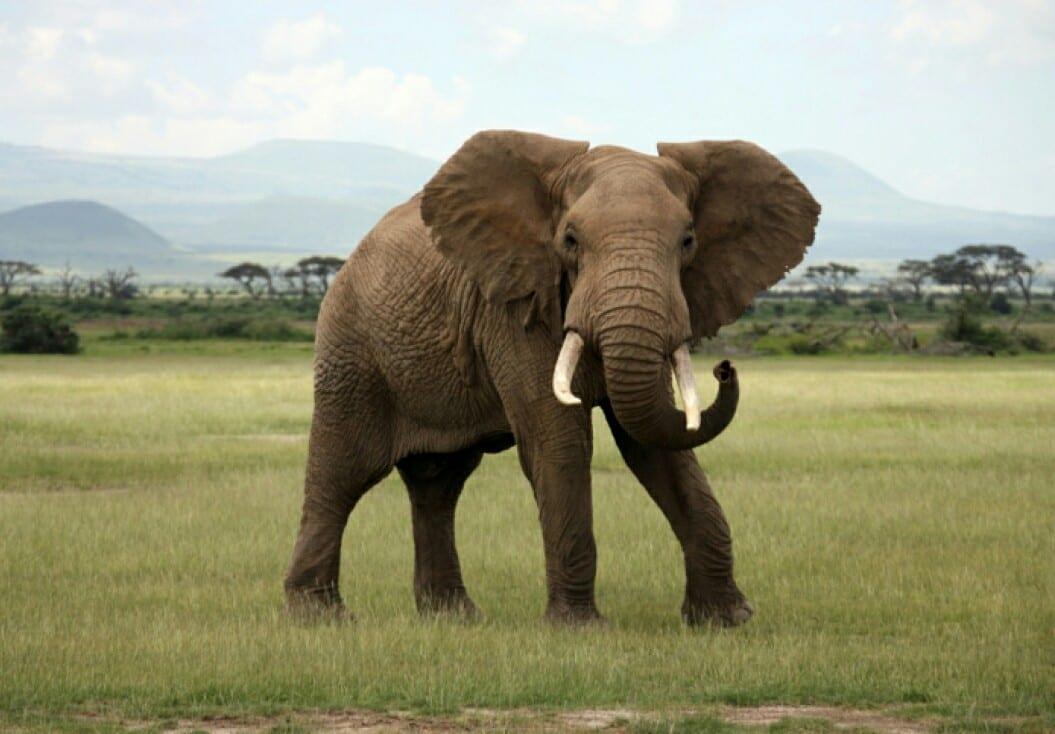 Bénin/Kalalé : Un éléphant en divagation tue un agriculteur