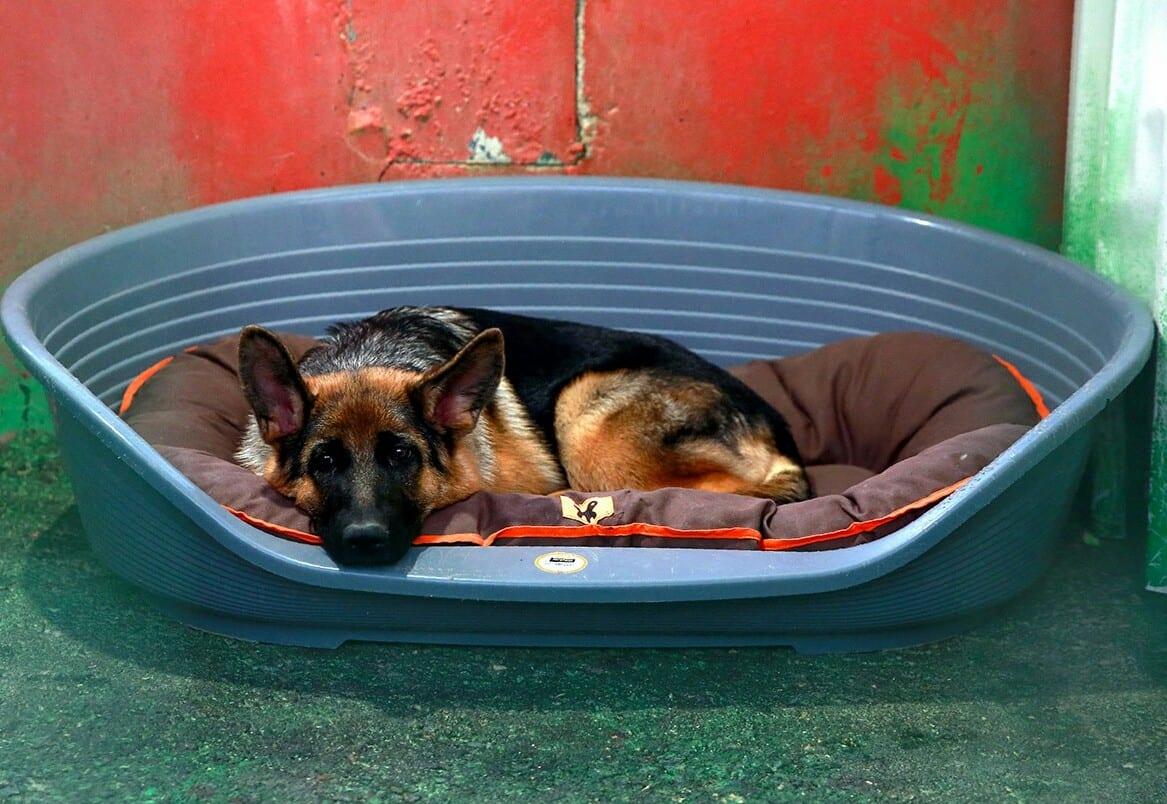 Covid-19/USA : Le premier chien testé positif est mort