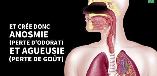 La perte d'odorat, un symptôme du Covid enfin expliqué