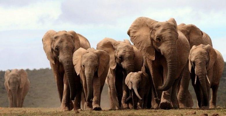 RDC: Un braconnier qui a tué plus de 500 éléphants sévèrement puni par la loi