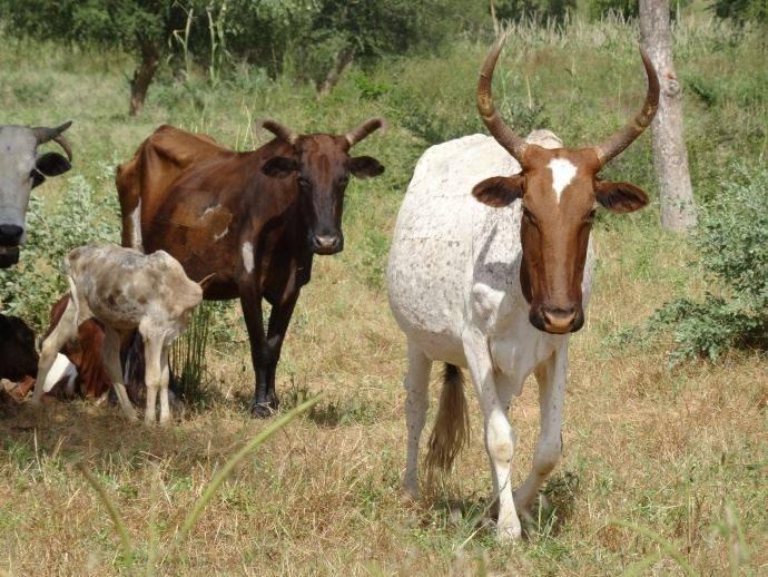 Le Mali suspend l'exportation de bétail vers la CEDEAO