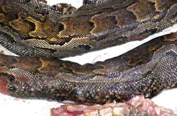 La consommation d'un serpent fait des morts