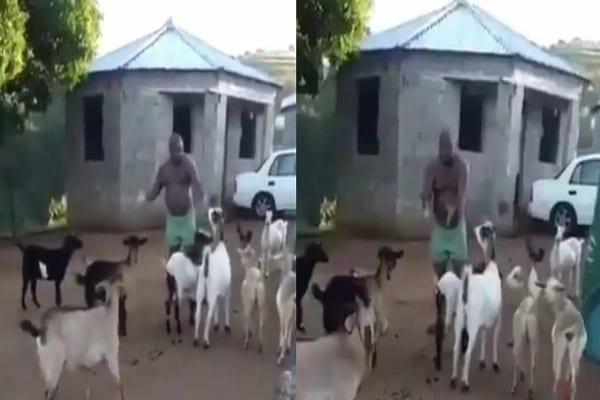 Afrique du Sud : un homme tient une réunion avec ses chèvres (vidéo)