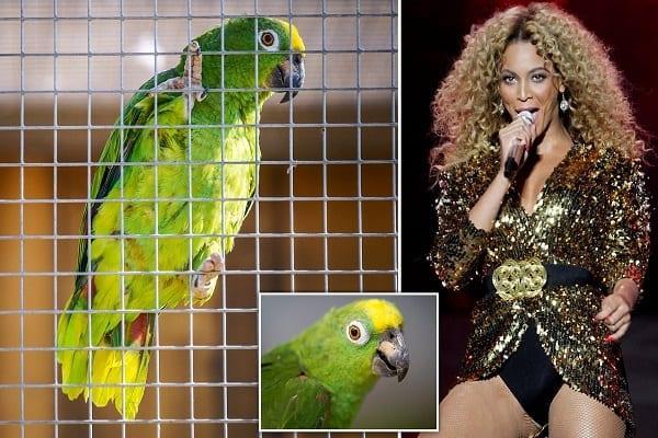 Angleterre : un perroquet devient célèbre en interprétant « If I Were A Boy » de Beyonce (vidéo)